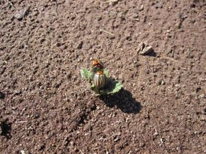 taterbug